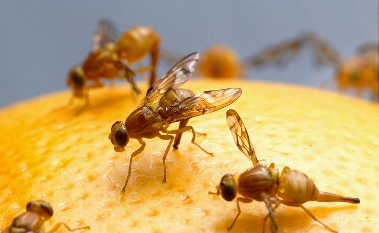 Drie manieren waarmee je die irritante fruitvliegjes de baas bent