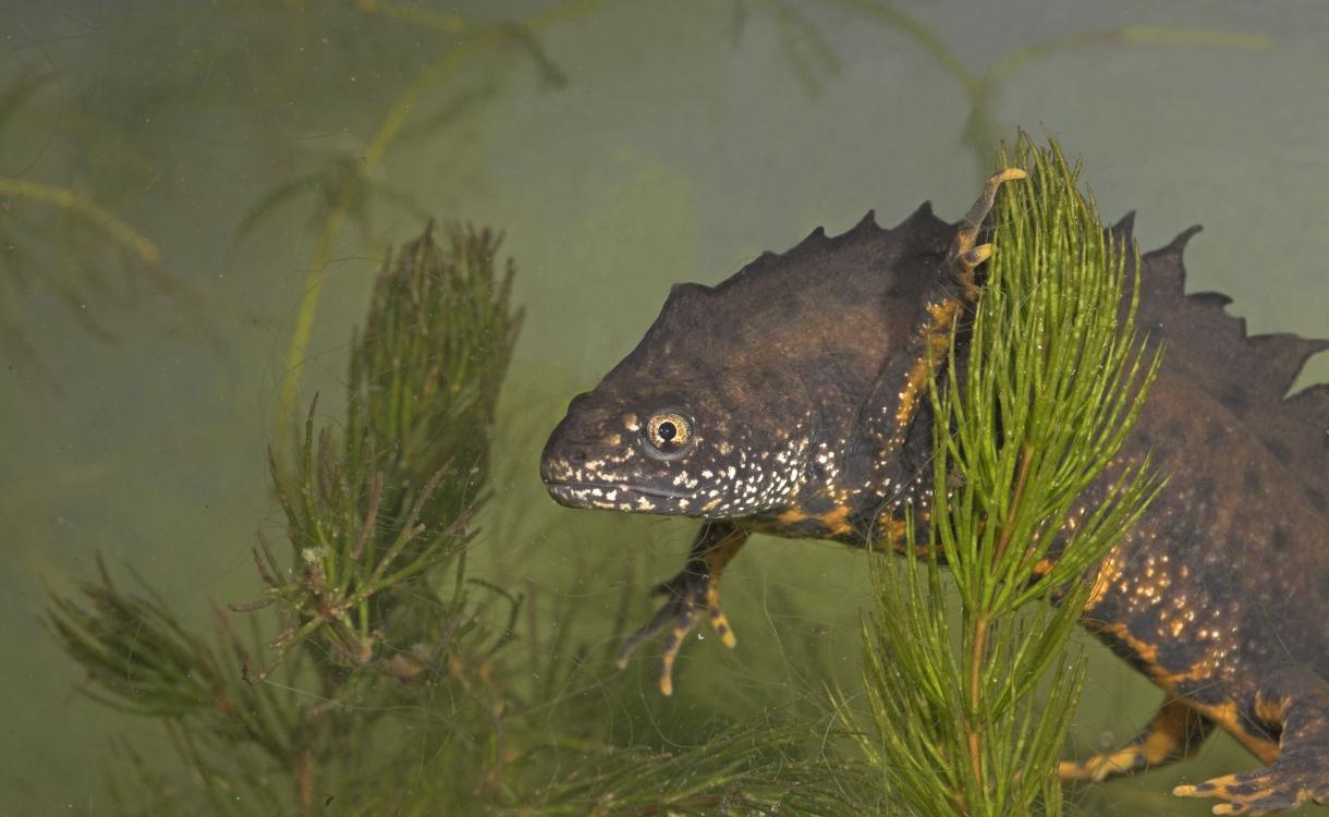 Dodelijke salamanderschimmel aangetroffen in de regio