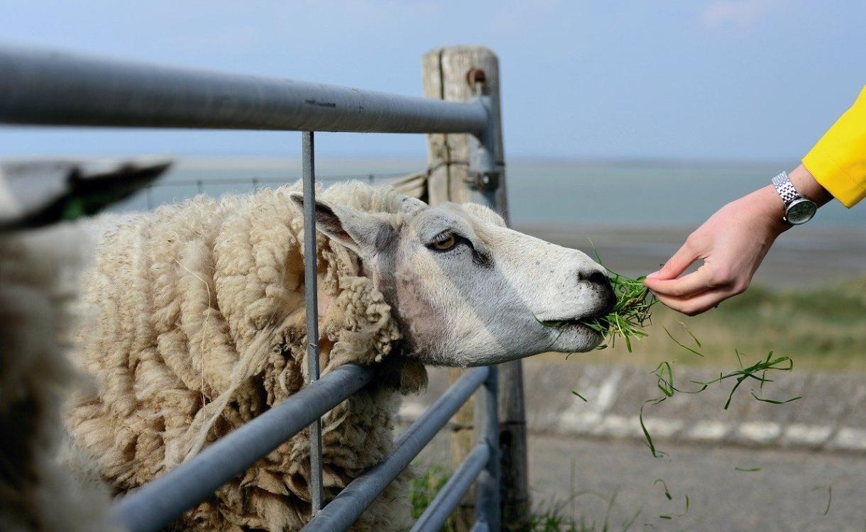 Massaal hulp aangeboden aan verwaarloosde Brummense schapen