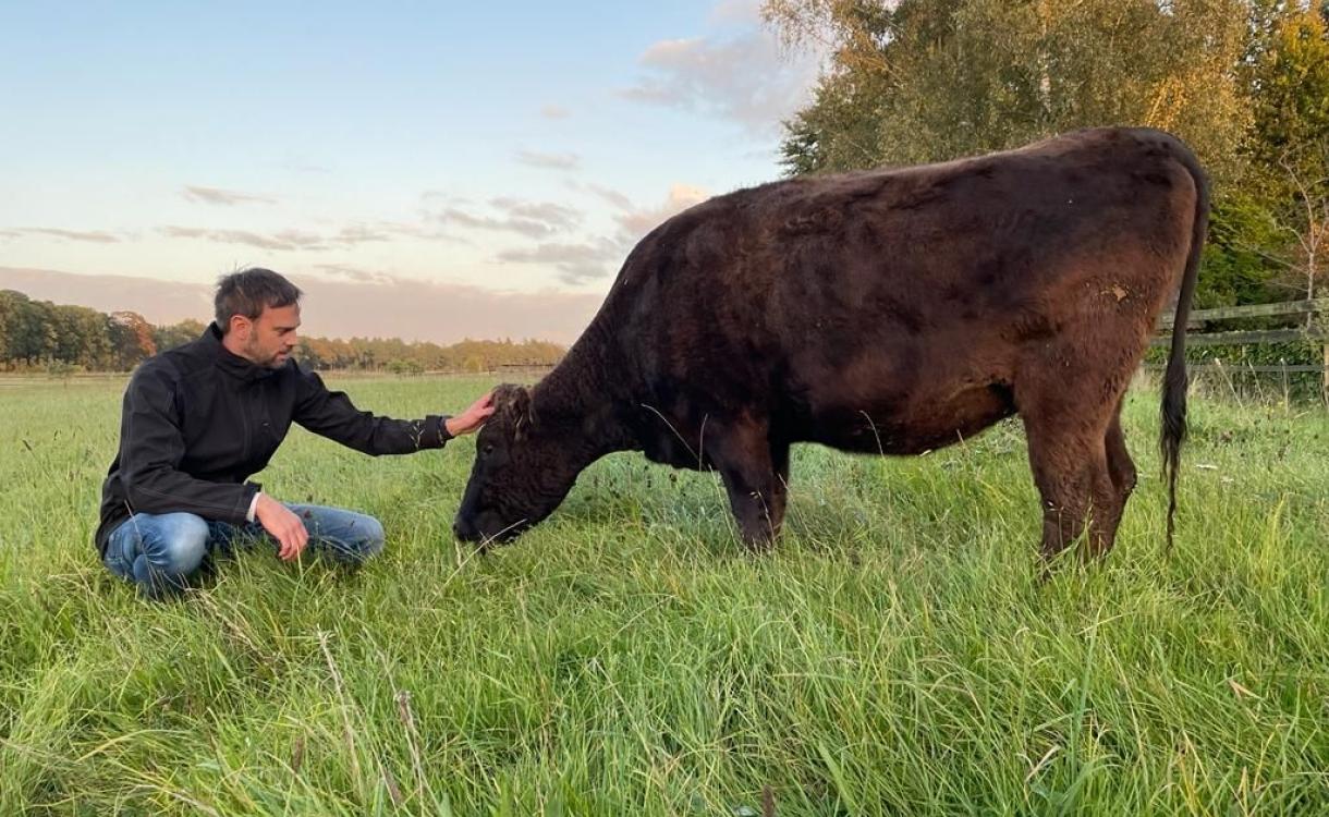 Kudde met mytische koeien wonen in Gorssel