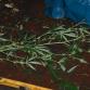 Vietnamees en Nijmegenaar aangehouden in verband met hennepplantage in Zutphen
