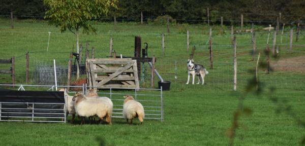 Ontsnapte Husky gaat achter de paarden en schapen aan in Warnsveld