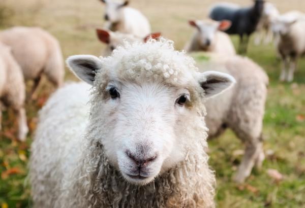 Geen vervuilende maaimachine, maar een schaapskudde gaat het gras in Zutphen kort houden